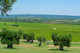 Vineyards and very old olive trees in Apulia, Italy, famous center of wine and extra virgine olive oil production