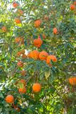 Mandarine tree with many ripe orange fruits ready to harvest