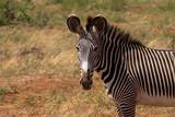Grevyzebra im Samburu Nationalpark Kenia © familie-eisenlohr.de