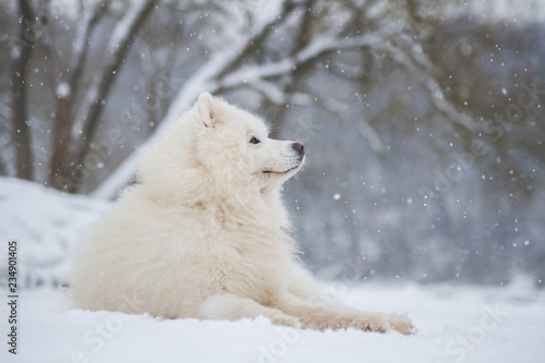 Naklejka Samoyed dog in the snow outside.
