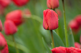 red tulips in the garden © Andrii
