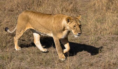 Löwin, Massai Mara Kenia