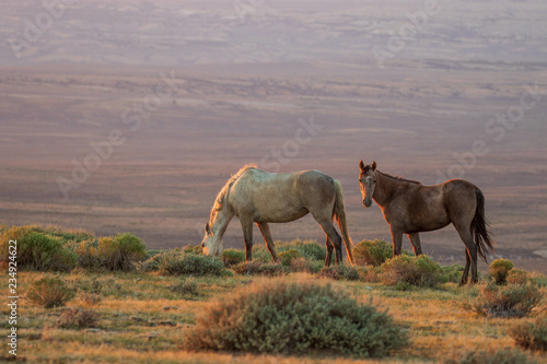 Wild Horses in the Colorado Desert in Summer