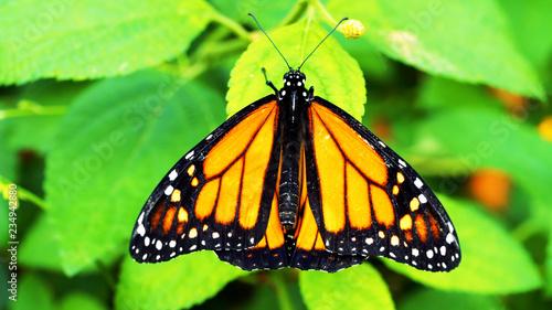 Leinwandbild Motiv butterfly on flower //Monarch butterfly on a flower