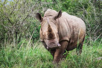 Nashorn in Südafrika © Jonas