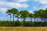 Forêt de pin dans les landes