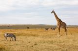 Masai or Kilimanjaro Giraffe,  giraffa camelopardalis tippelskirchii, with common zebra, Equus quagga, in hilly savannah landscape © Isabelle
