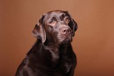 Brown labrador dog in front of a colored background © Rene
