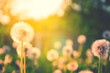 Spring nature scene.Springtime.Fluffy dandelions growing in spring garden illuminated by the warm golden light of setting sun on a soft blurred background. - 234954483