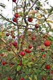Czerwone jabłka na jabłoni w sadzie