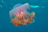 Big jellyfish in open water