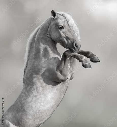 American Miniature Horse rearing. Black and White photo.