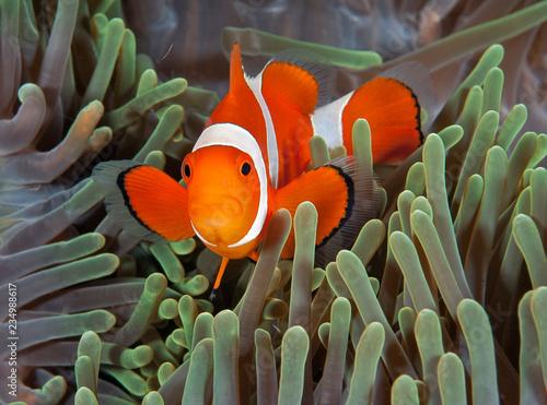 Bright clownfish in anemone