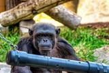 Chimpanzee in a zoo.