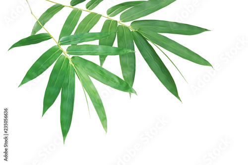 Bamboo Branches with Green Leaves Isolated on White Background