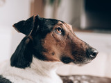A closeup of a relaxed dog at home. Cute terrier dog portrait. © Laszlo