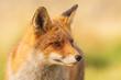Wild red fox Vulpes Vulpes close-up