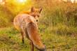 Wild red fox Vulpes Vulpes evening sunset