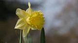 Daffodil Narcissus flower in spring, blowing in breeze - 235108638