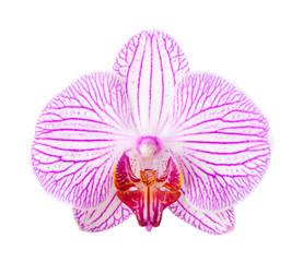 Close-up of beautiful Orchid flower on white background.  phalaenopsis