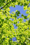 ブナ・新緑の葉(広葉樹) - 235134629