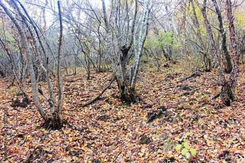 Birch tree trunk - 235137290