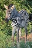 Baby Zebra in African Savannah © Kerstin