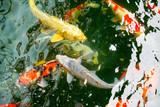 Koi fish in the found, japanese garden - 235144083