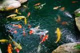 Koi fish in the found, japanese garden - 235144268