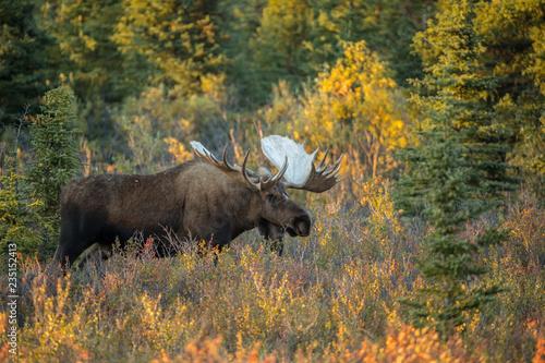 Bull moose in fall colors taken in Denali NP Alaska