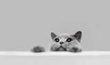 Playful grey purebred cat peeking out. - 235176822