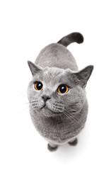 British shorthair cat on white background.