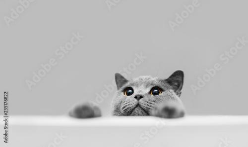 Playful grey purebred cat peeking out.