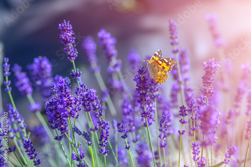 Butterfly on lavender flowers on a sunny warm day - 235181402