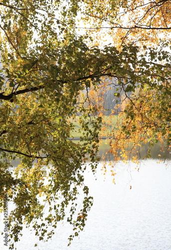 birch at autumn - 235188646