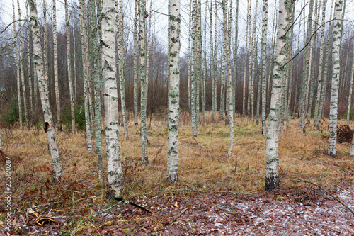 Birch forest landscape in Finland at autumn