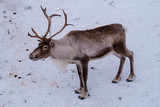 Christmas Reindeer in real nature with ice cold polar environment