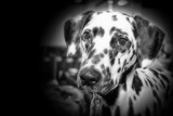 BLACK & WHITE DALMATION DOG