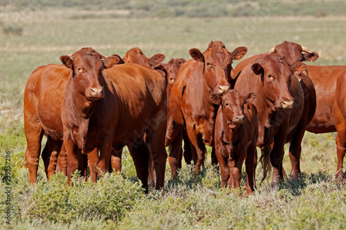 Leinwanddruck Bild Small herd of free-range cattle on a rural farm, South Africa.