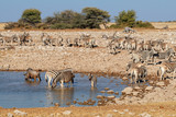 Zebras (Equus burchelli) and a wildebeest and at a waterhole, Etosha National Park, Namibia.