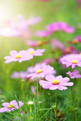 cosmos pink blooming flower with green leaves or leaf on nature garden or beautiful meadow and winter blossom or flora festival with warm sunny or sunlight on vertical picture