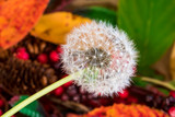 Dandelion and Autumn leaves