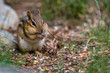 An Eastern Chipmunk (Tamias striatus) standing rear legs and eating in Michigan, USA.