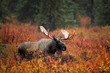 Bull Moose in fall colors taken in Denali National Park