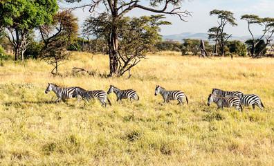 Zebras in the savannah of Tanzania