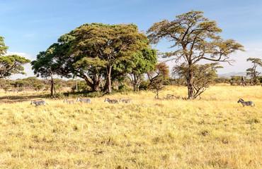 Acacias in Tanzania on a sunny day