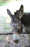 Testa di mulo