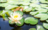 Closeup lotus flower image photo