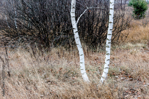 White birches in a meadow in late autumn in overcast weather - 235327641