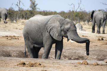 Elephant relaxing its proboscis